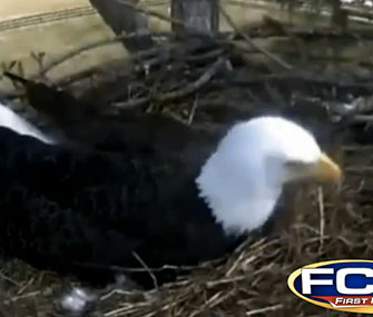 A Florida real estate firm installed a web cam over a bald eagle nest.