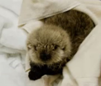 Meshik the sea otter