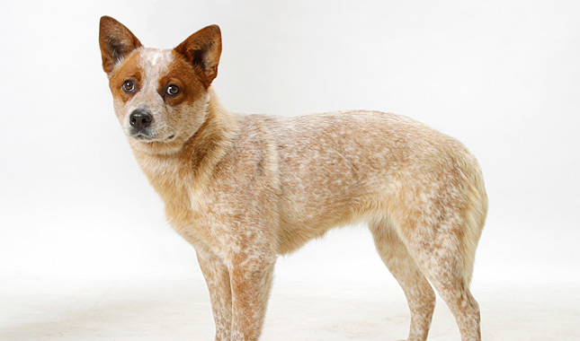 Big Red Cattle Dog