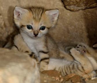 Tel Aviv Sand Cat