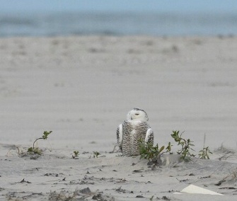 """Instead of snow falling on the beaches of Cape Hatteras to start #2014, a snowy owl perched on the beach,"" Tweeted Cape Hatteras, N.C., National Park Service on Jan. 2."