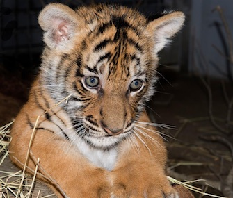 Bersi, a Malaysian tiger cub, made her debut at the Lowry Park Zoo this week.