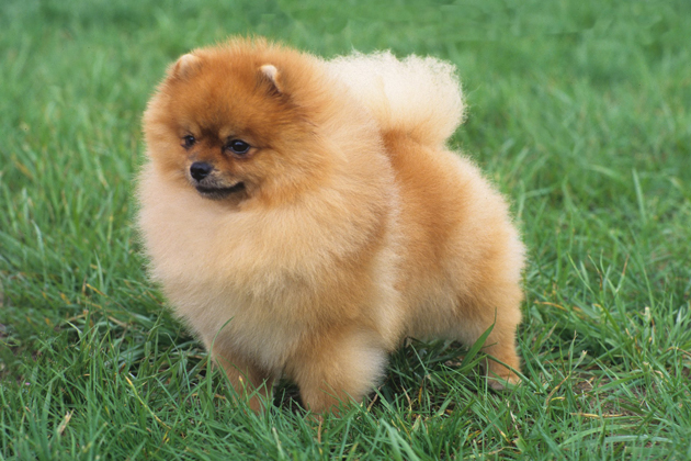 teacup pomeranian life expectancy pomeranian breed information 1013