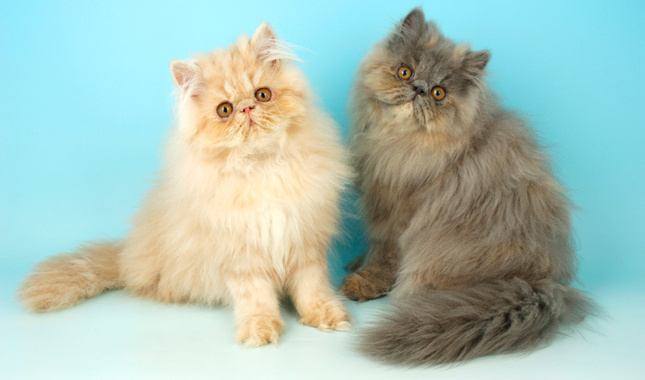 Information about the persian cat