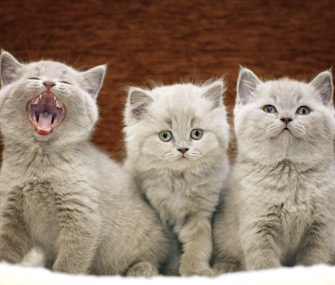 Three adorable gray kittens