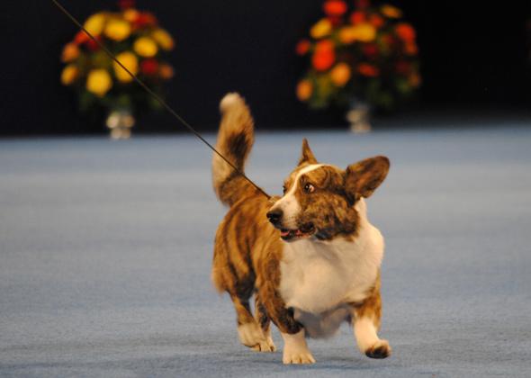 National Dog Show Cardigan Welsh Corgi