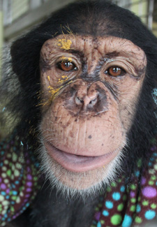 chimp with paint on his face