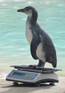 ZSL Penguin on scale