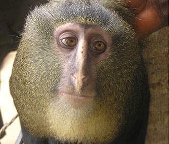 The Lesula monkey was discovered in the Dominican Republic of Congo.