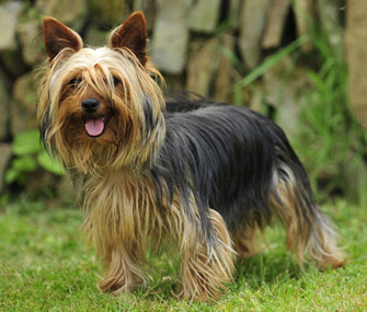 Yorkshire Terrier Standing in Grass
