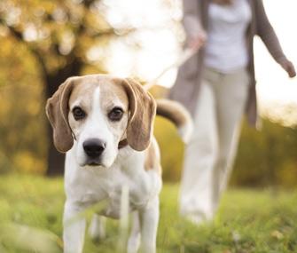 Senior Beagle