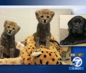 A pair of 8-week-old cheetah cubs and a Lab puppy will live together at the Dallas Zoo.