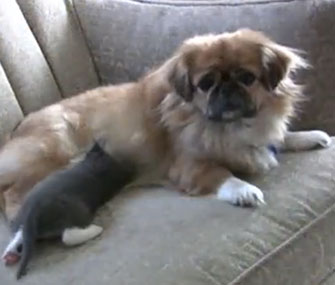 Mittens the Pekingese nurses a stray kitten.