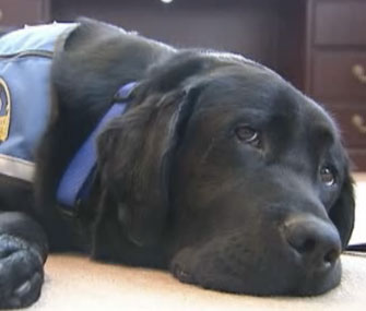 Bronksey the therapy dog works at the Staten Island, N.Y., district attorney's office.