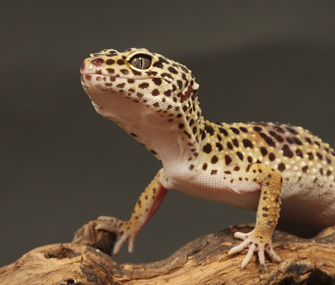 Profile of a gecko