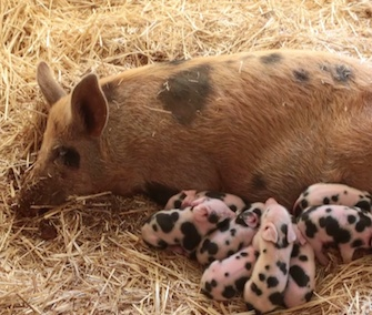 Eight piglets named for Santa's reindeer were born to a rescued pig at an Australian farm sanctuary.