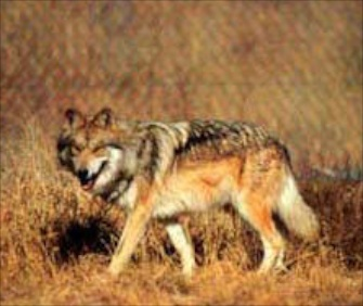 The population of Mexican wolves has been slowly increasing in the Southwestern U.S.