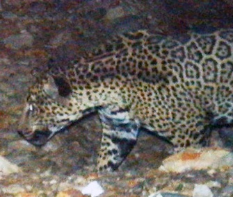 This male jaguar had been spotted several times in recent months in the mountains of Southern Arizona.