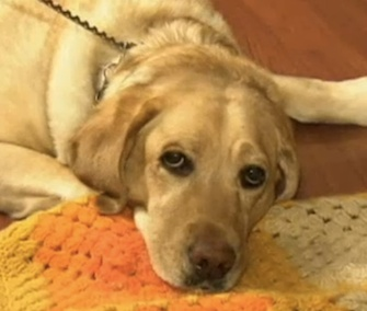 Yolanda the guide dog is hailed as a hero for saving her blind owner.