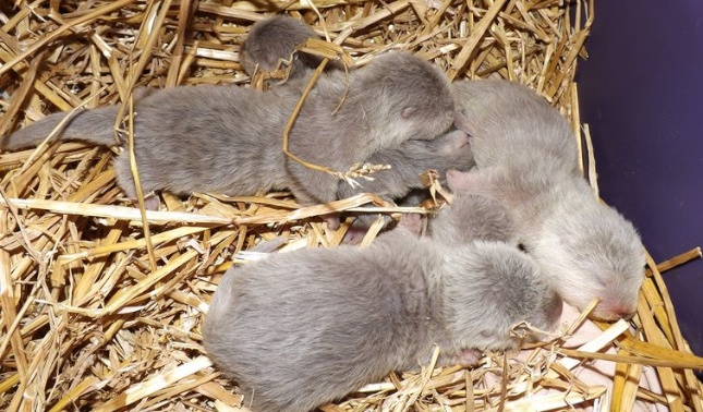 Asian small clawed otter pups at the Greensboro Science Center