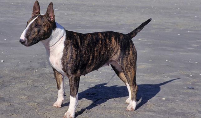 Bull Terrier Breed Information