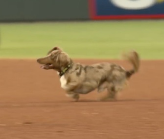 A Dachshund took off running wild on the field at the minor league El Paso Chihuahuas game.
