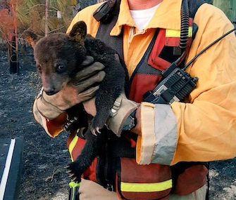 A Lake County firefighter holds Smokey Junior after the cub was found in a wildfire.