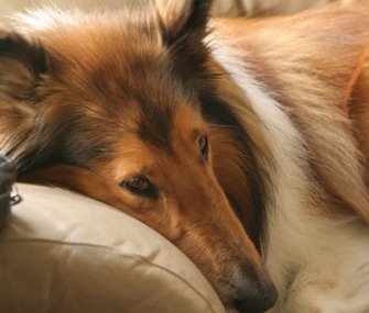 Collies and other herding breeds can be sensitive to certain medications.