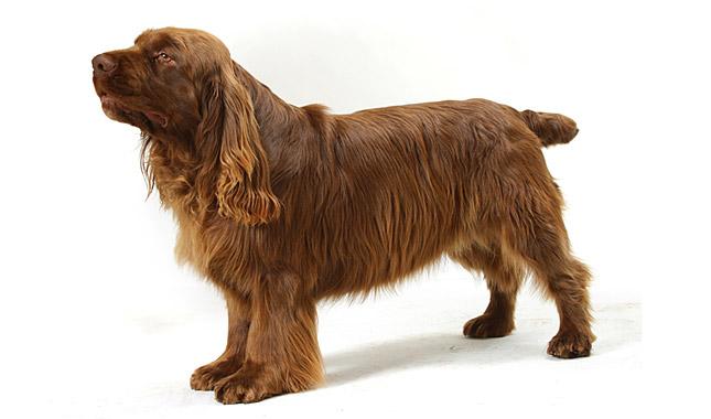 Sussex Spaniel Dog Breed Information
