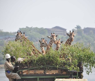 Six giraffes catch a ride across the Nile River in Uganda as conservationists try to expand their range.