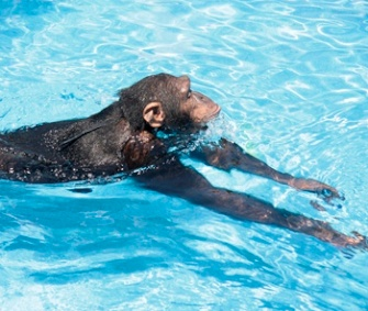 One of the apes involved in the research swims in a pool.