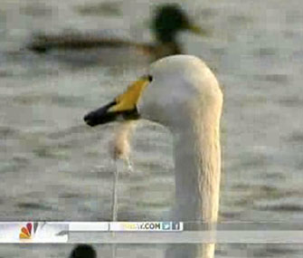 Rescuers in China untangled thread dangling from a swan's beak.