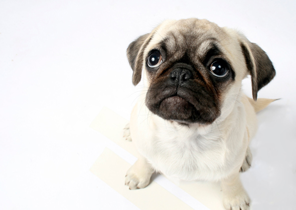 Amazing Chinese Chubby Adorable Dog - pug-590sm4913  Image_968830  .jpg