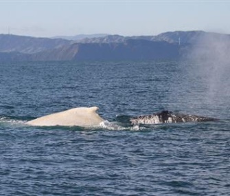 "Researchers in New Zealand were stunned to see an ""extremely rare"" white humpback whale."