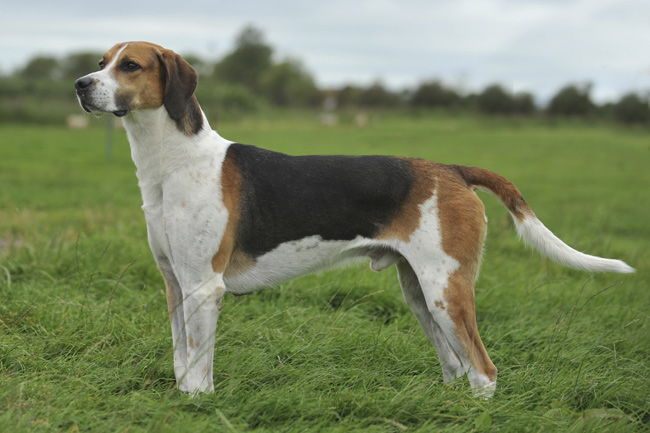 English Foxhound Breed Information