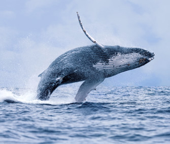 Humpback whale makes comeback in Australia