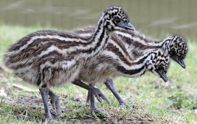 Three emu hatchlings explore their yard at the Berlin Zoo.