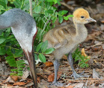 This Eurasian crane chick was adopted by two female Florida cranes at the Lowry Park Zoo.