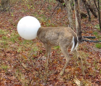 A deer who got its head stuck in a globe from a lighting fixture was freed by a conservation officer.