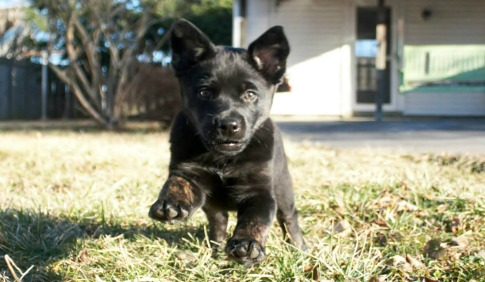 Odin the Puppy