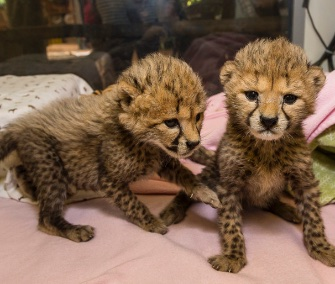 Twin cheetah sisters are being hand-raised at the San Diego Zoo Safari Park.