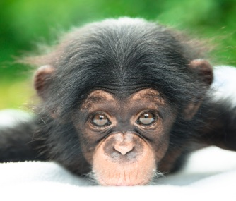 A chimp hand-reared by her keepers will be named Ruw.