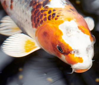 Koi don 39 t confuse the large colorful carp with goldfish for Colorful pond fish