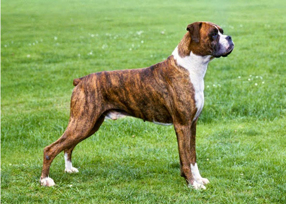 List Of Large Working Dogs