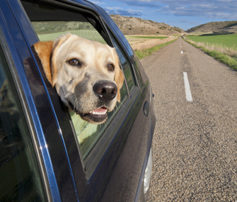 Labrador Retriever with head out car window