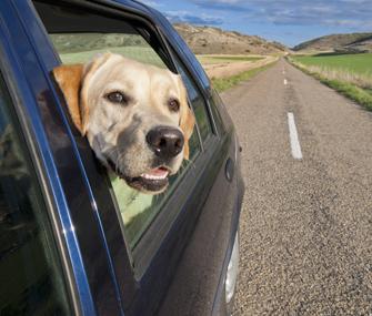 Labrador Retriever with head out car window
