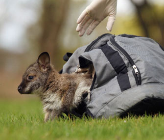 Tilly the wallaby sits in her rucksack.