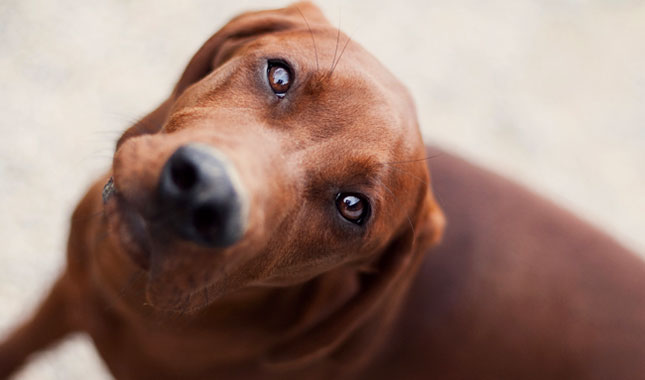 Redbone Coonhound Dog ...
