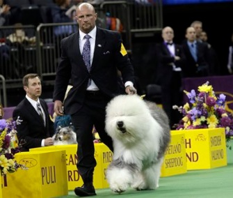 The audience at Madison Square Garden was wild for Swagger, a 3-year-old Old English Sheepdog.