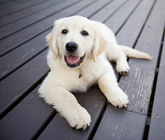Golden Retriever Puppy on Deck